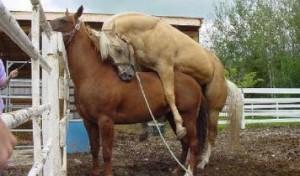 solution pour ces messieurs trop rapide au lit photos_humour_vaches_chevaux-10-300x176